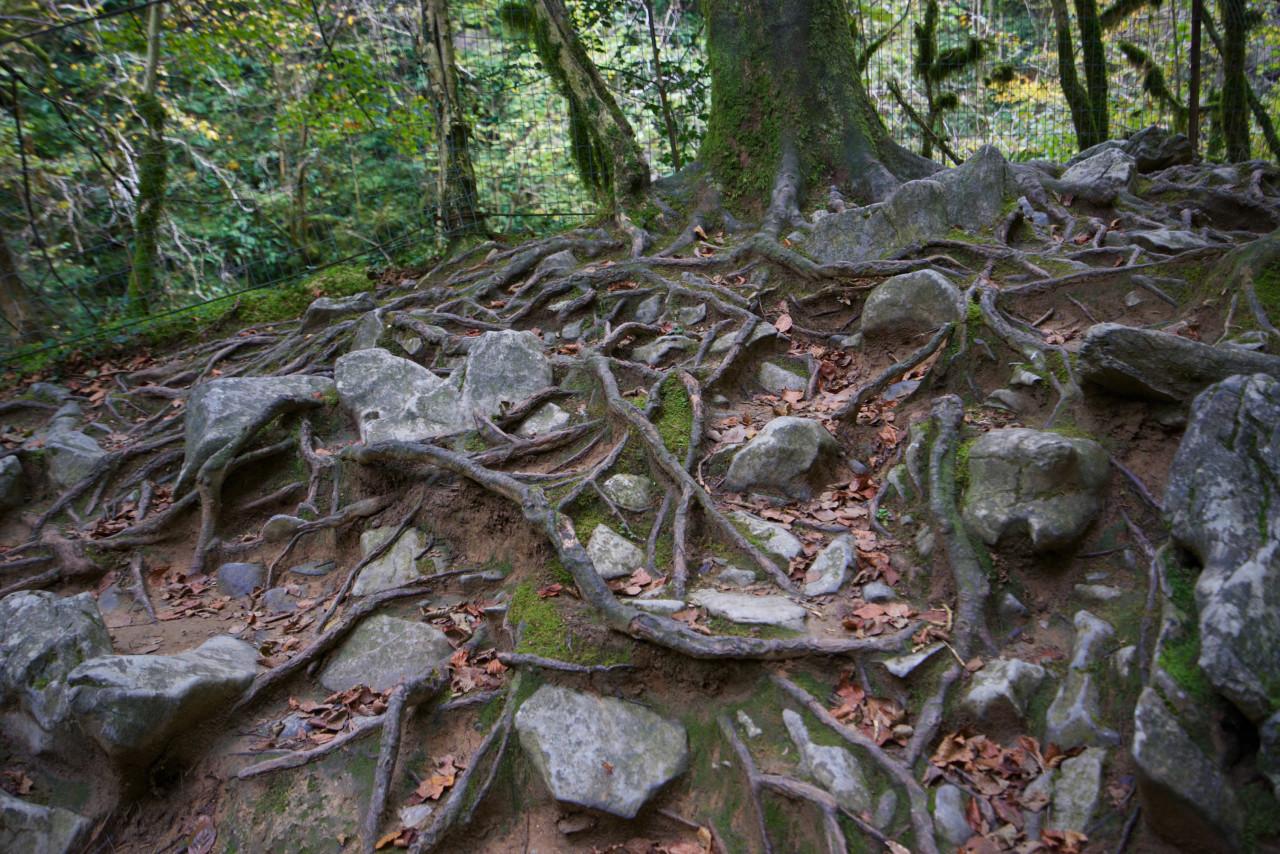 racines arbres gorges