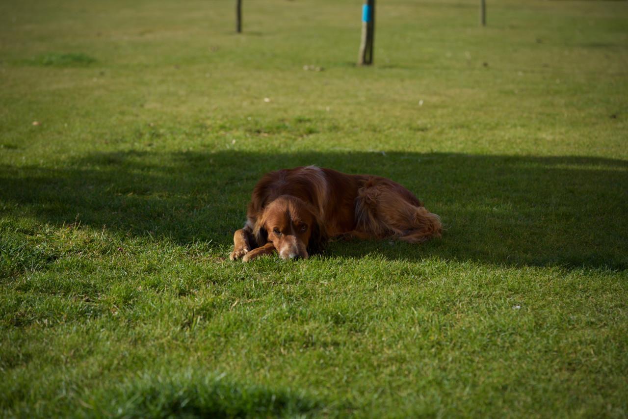 chien apache lokan
