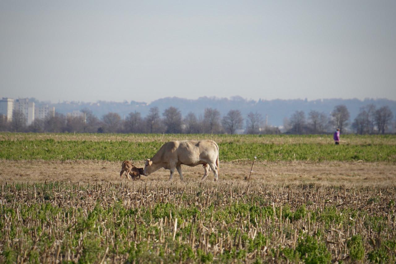 vache mise bas veau lokan