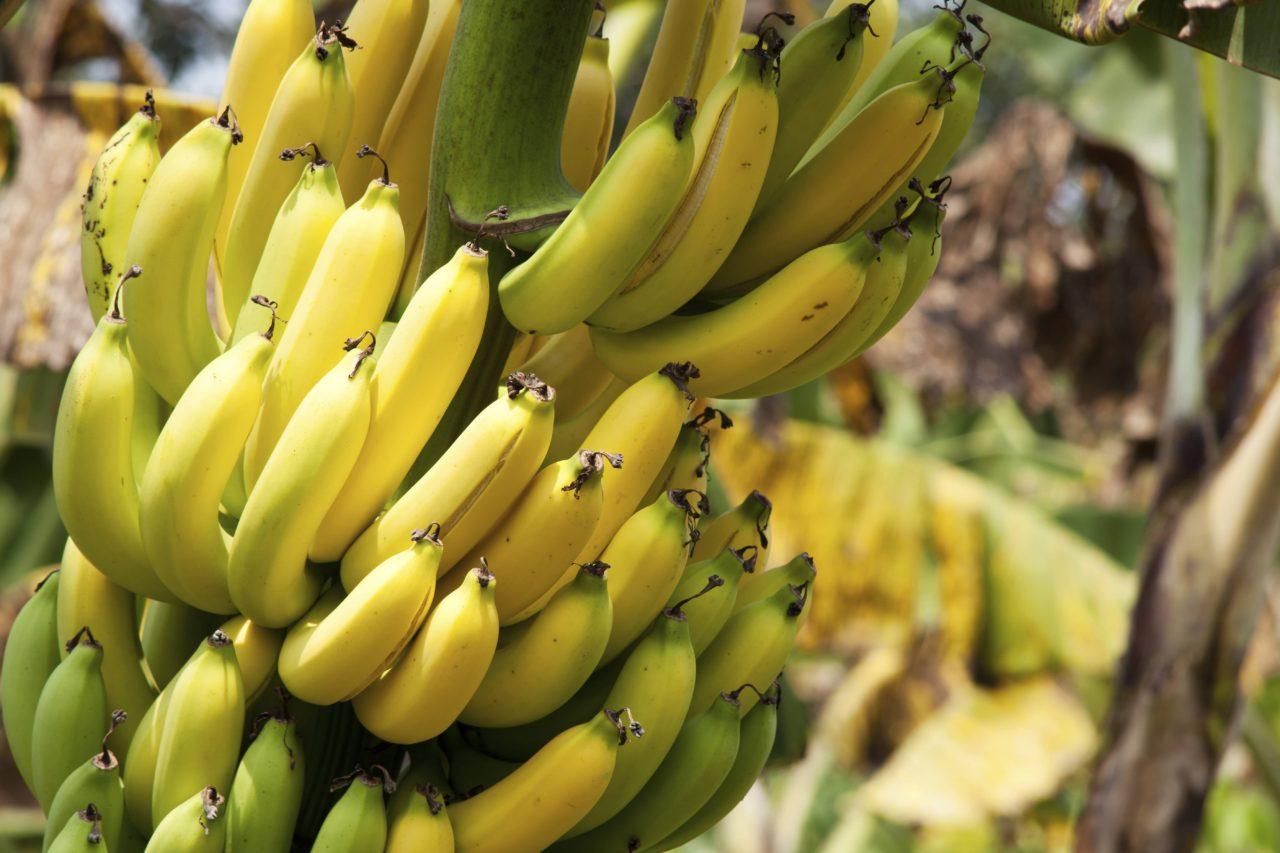 banane arbre éplucher