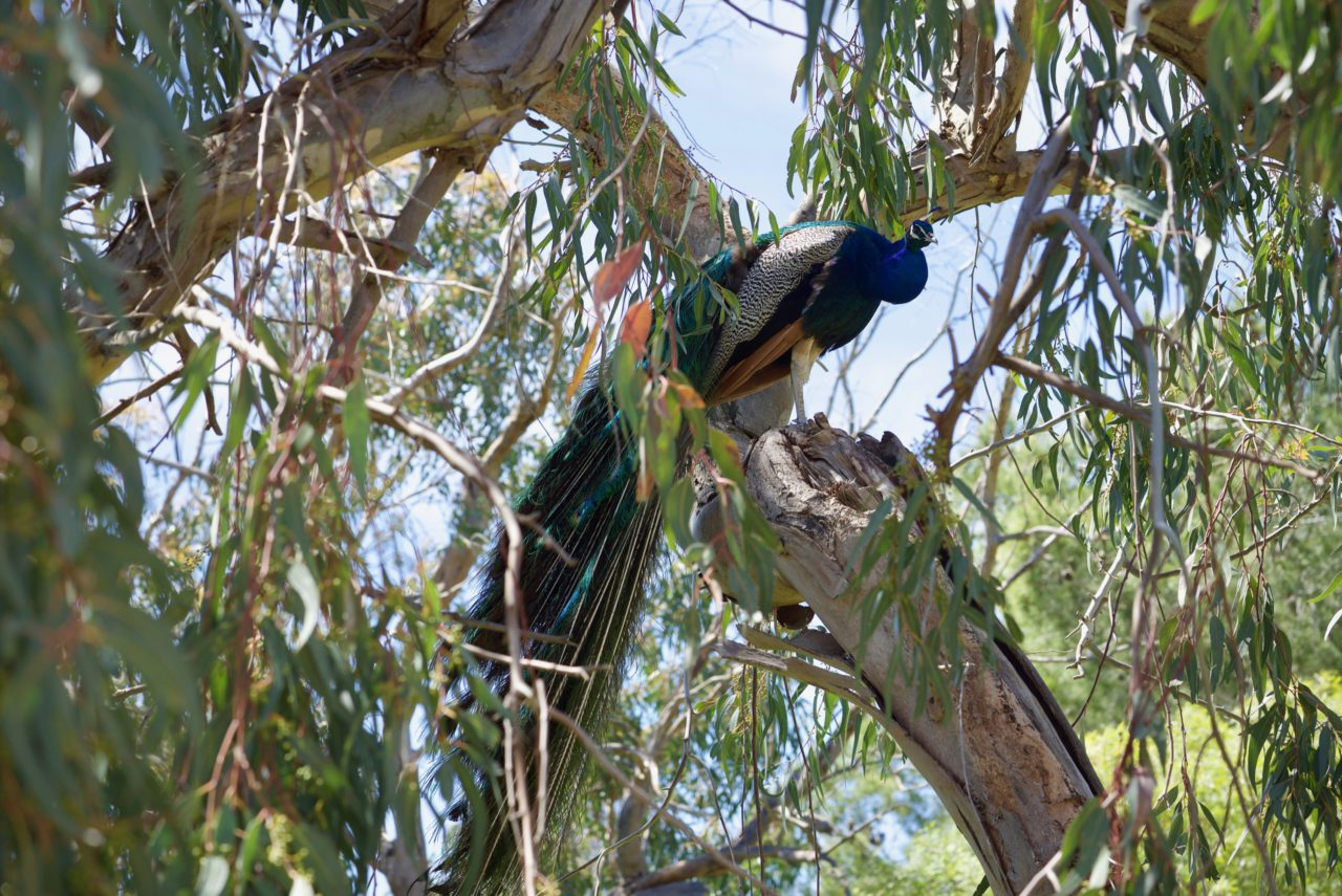 paon arbre reserve sigean
