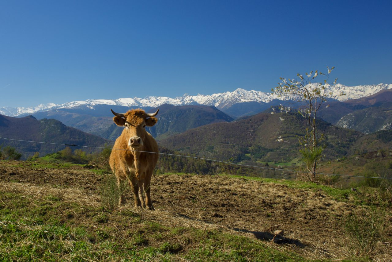 vache montagne