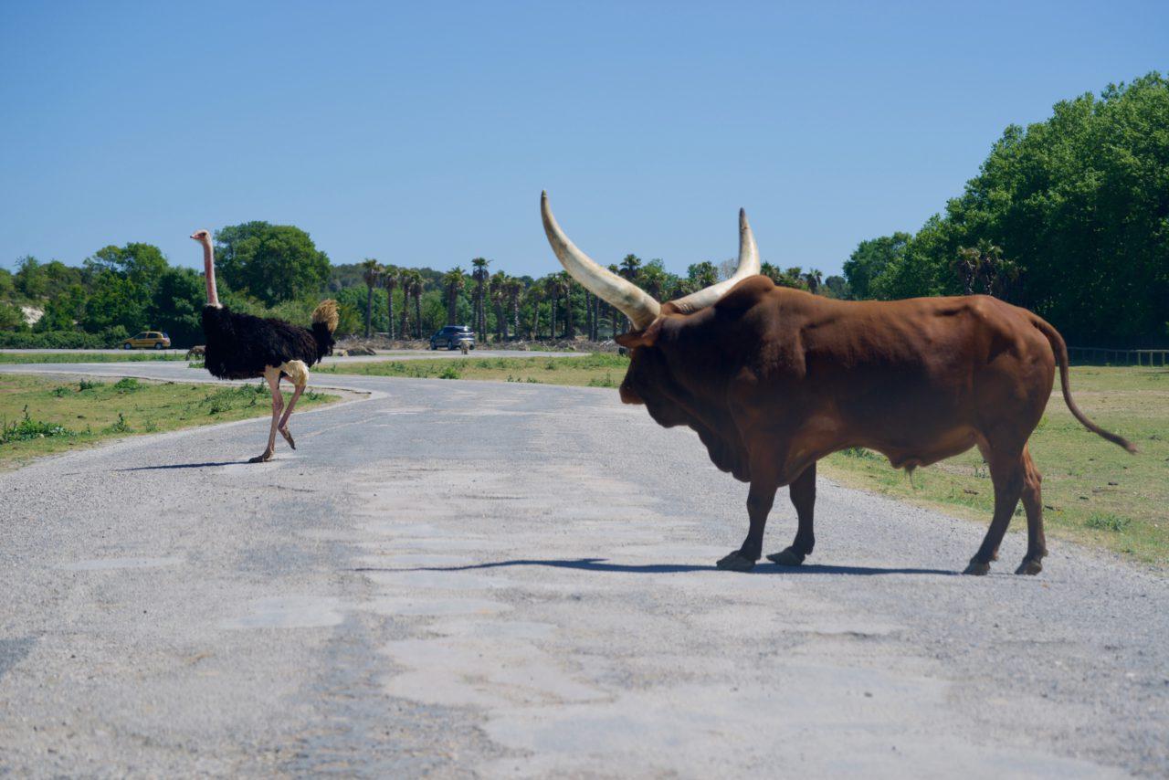 bœuf watussi traverse route autruche