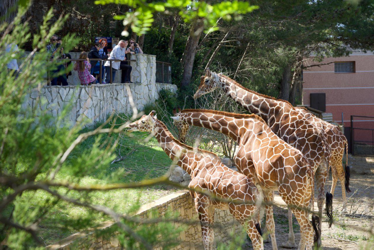 repas girafe